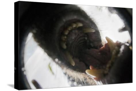Vancouver Island Wolf (Canis Lupus Crassodon) Biting Camera In Protective Case-Bertie Gregory-Stretched Canvas Print