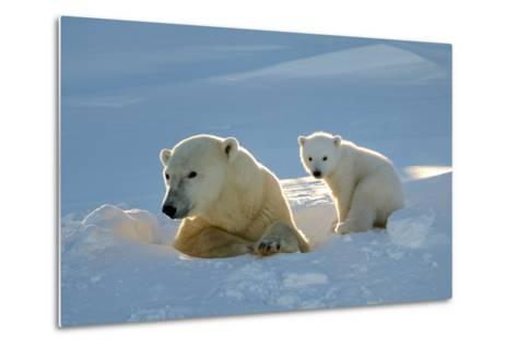 Polar Bear (Ursus Maritimus) Female Coming Out The Den With One Three Month Cub-Eric Baccega-Metal Print