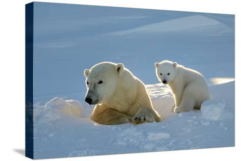 Polar Bear (Ursus Maritimus) Female Coming Out The Den With One Three Month Cub-Eric Baccega-Stretched Canvas Print