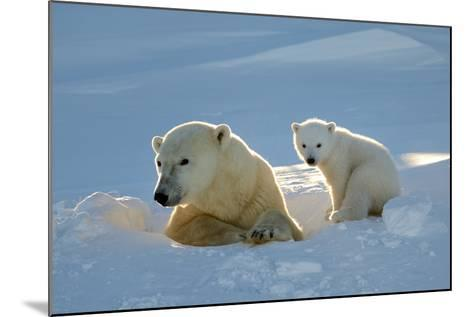 Polar Bear (Ursus Maritimus) Female Coming Out The Den With One Three Month Cub-Eric Baccega-Mounted Photographic Print