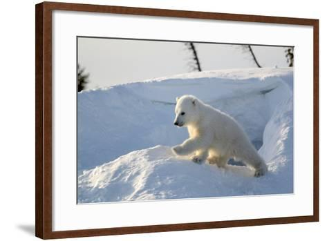 Polar Bear Cub 3 Months (Ursus Maritimus) Playing In The Front Of The Day Den In March-Eric Baccega-Framed Art Print