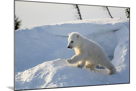 Polar Bear Cub 3 Months (Ursus Maritimus) Playing In The Front Of The Day Den In March-Eric Baccega-Mounted Photographic Print