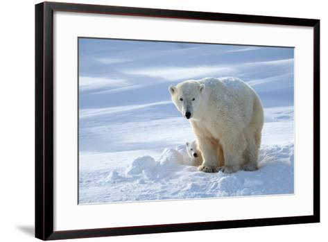Polar Bear (Ursus Maritimus) Female Coming Out The Den With One Three Month Cub-Eric Baccega-Framed Art Print