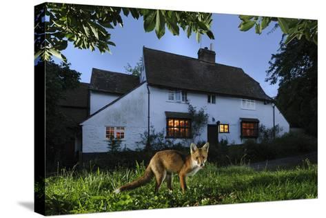 Red Fox (Vulpes Vulpes) Eating Pet Food Left Out For It In Suburban Garden At Twilight, Kent, UK-Terry Whittaker-Stretched Canvas Print