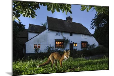 Red Fox (Vulpes Vulpes) Eating Pet Food Left Out For It In Suburban Garden At Twilight, Kent, UK-Terry Whittaker-Mounted Photographic Print