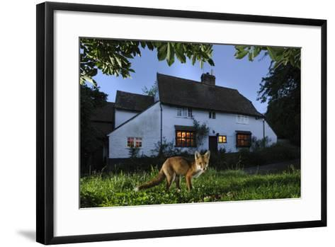 Red Fox (Vulpes Vulpes) Eating Pet Food Left Out For It In Suburban Garden At Twilight, Kent, UK-Terry Whittaker-Framed Art Print