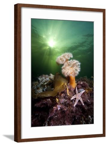 Plumose Anemones (Metridium Senile) And Common Starfish (Asterias Rubens) Beneath The Sun-Alex Mustard-Framed Art Print