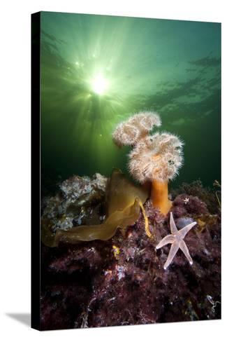 Plumose Anemones (Metridium Senile) And Common Starfish (Asterias Rubens) Beneath The Sun-Alex Mustard-Stretched Canvas Print