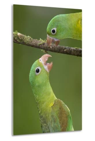 Orange-Chinned Parakeets (Brotogeris Jugularis) Interacting, Northern Costa Rica, Central America-Suzi Eszterhas-Metal Print