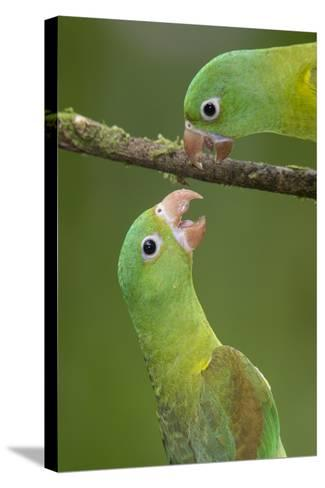 Orange-Chinned Parakeets (Brotogeris Jugularis) Interacting, Northern Costa Rica, Central America-Suzi Eszterhas-Stretched Canvas Print