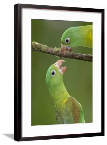 Orange-Chinned Parakeets (Brotogeris Jugularis) Interacting, Northern Costa Rica, Central America-Suzi Eszterhas-Framed Art Print