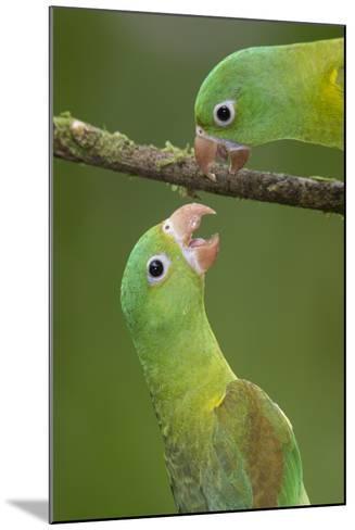 Orange-Chinned Parakeets (Brotogeris Jugularis) Interacting, Northern Costa Rica, Central America-Suzi Eszterhas-Mounted Photographic Print