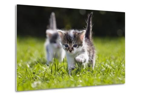 Kittens Exploring Garden Lawn, Germany-Konrad Wothe-Metal Print