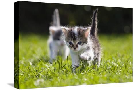 Kittens Exploring Garden Lawn, Germany-Konrad Wothe-Stretched Canvas Print