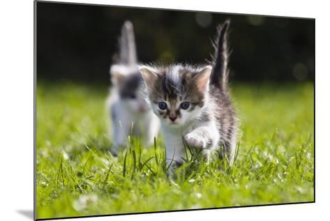 Kittens Exploring Garden Lawn, Germany-Konrad Wothe-Mounted Photographic Print