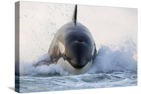 Orca (Orcinus Orca) Breaching, False Bay, South Africa-Chris & Monique Fallows-Stretched Canvas Print