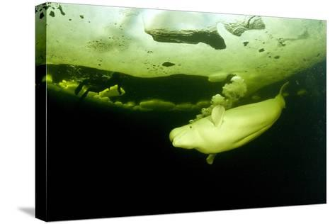 Beluga Whale (Delphinapterus Leucas) Swimming Under Ice And Exhaling Air-Franco Banfi-Stretched Canvas Print