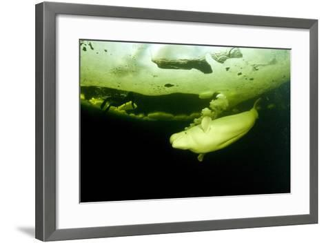 Beluga Whale (Delphinapterus Leucas) Swimming Under Ice And Exhaling Air-Franco Banfi-Framed Art Print