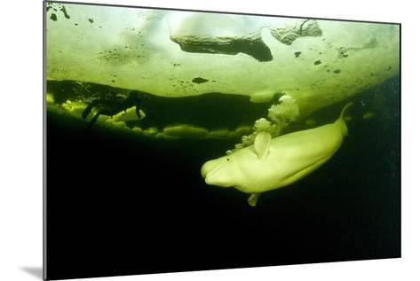 Beluga Whale (Delphinapterus Leucas) Swimming Under Ice And Exhaling Air-Franco Banfi-Mounted Photographic Print