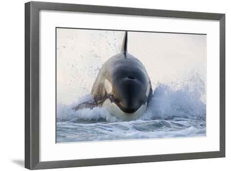 Orca (Orcinus Orca) Breaching, False Bay, South Africa-Chris & Monique Fallows-Framed Art Print