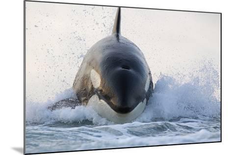 Orca (Orcinus Orca) Breaching, False Bay, South Africa-Chris & Monique Fallows-Mounted Photographic Print