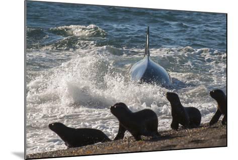 Orca (Orcinus Orca) Hunting Sea Lion Pups, Peninsula Valdez, Patagonia Argentina-Gabriel Rojo-Mounted Photographic Print