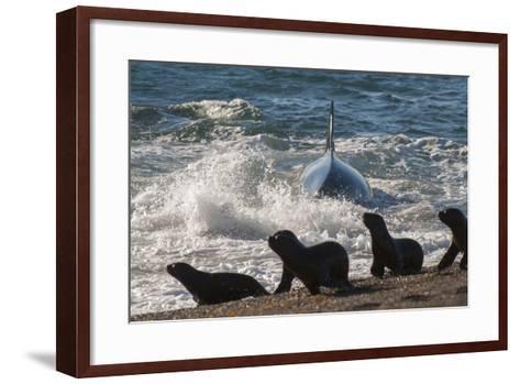 Orca (Orcinus Orca) Hunting Sea Lion Pups, Peninsula Valdez, Patagonia Argentina-Gabriel Rojo-Framed Art Print