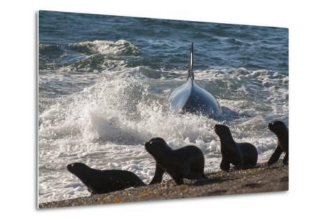 Orca (Orcinus Orca) Hunting Sea Lion Pups, Peninsula Valdez, Patagonia Argentina-Gabriel Rojo-Metal Print