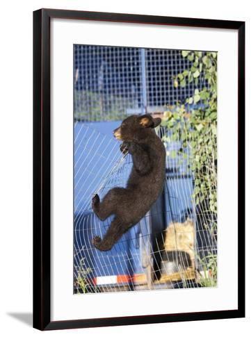 Black Bear (Ursus Americanus) Cub Climbing A Fence, Minnesota, USA, May- Shattil & Rozinski-Framed Art Print