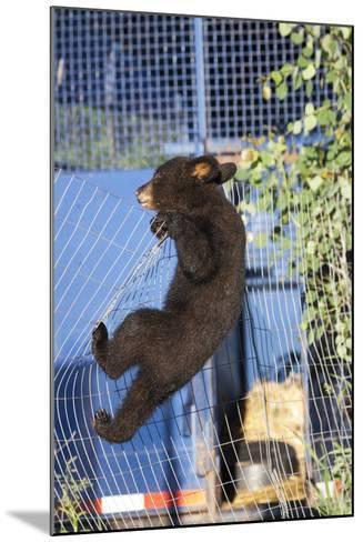 Black Bear (Ursus Americanus) Cub Climbing A Fence, Minnesota, USA, May- Shattil & Rozinski-Mounted Photographic Print