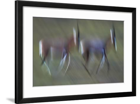 Pair Of Blesbok (Damaliscus Pygargus) Galloping Across The Open Flood Plains Of The Bushman'S River-Neil Aldridge-Framed Art Print