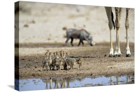 Ostrich Chicks (Struthio Camelus) Etosha Np, Namibia. Giraffe Legs And Distant Warthog-Tony Heald-Stretched Canvas Print