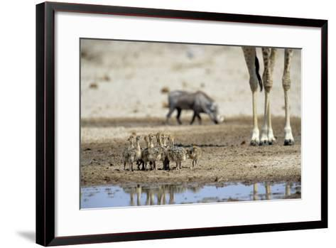 Ostrich Chicks (Struthio Camelus) Etosha Np, Namibia. Giraffe Legs And Distant Warthog-Tony Heald-Framed Art Print