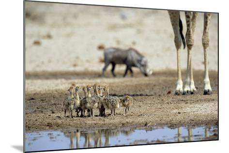 Ostrich Chicks (Struthio Camelus) Etosha Np, Namibia. Giraffe Legs And Distant Warthog-Tony Heald-Mounted Photographic Print