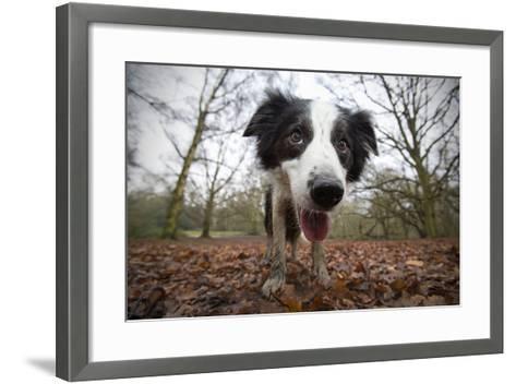 Black And White Border Collie, Hampstead Heath, England, UK-Matthew Maran-Framed Art Print