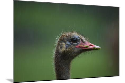 Ostrich (Struthio Camelus) Captive, Cabarceno Park, Cantabria, Spain, June-Juan Carlos Munoz-Mounted Photographic Print