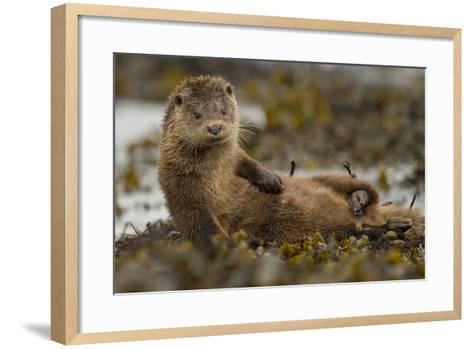 Otter (Lutra Lutra) Female Grooming In Seaweed, Mull, Scotland, England, UK, September-Paul Hobson-Framed Art Print