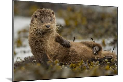 Otter (Lutra Lutra) Female Grooming In Seaweed, Mull, Scotland, England, UK, September-Paul Hobson-Mounted Photographic Print