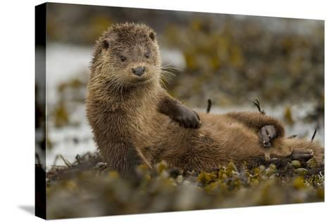 Otter (Lutra Lutra) Female Grooming In Seaweed, Mull, Scotland, England, UK, September-Paul Hobson-Stretched Canvas Print