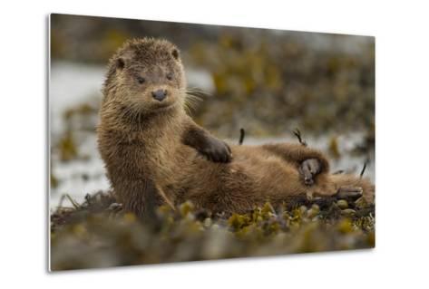 Otter (Lutra Lutra) Female Grooming In Seaweed, Mull, Scotland, England, UK, September-Paul Hobson-Metal Print