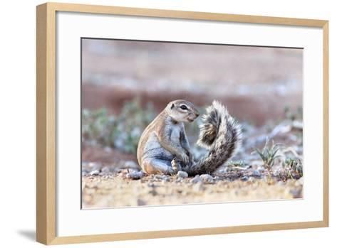 Ground Squirrel (Xerus Inauris) Sitting On Tail, Kgalagadi Transfrontier Park, Northern Cape-Ann & Steve Toon-Framed Art Print