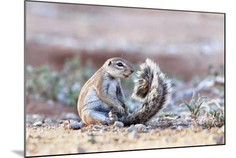 Ground Squirrel (Xerus Inauris) Sitting On Tail, Kgalagadi Transfrontier Park, Northern Cape-Ann & Steve Toon-Mounted Photographic Print