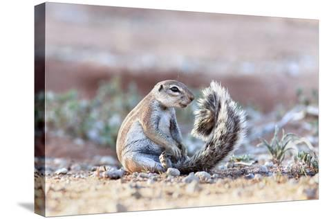 Ground Squirrel (Xerus Inauris) Sitting On Tail, Kgalagadi Transfrontier Park, Northern Cape-Ann & Steve Toon-Stretched Canvas Print