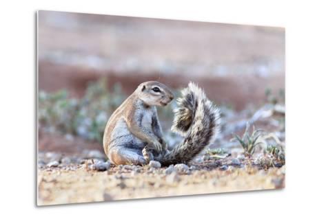 Ground Squirrel (Xerus Inauris) Sitting On Tail, Kgalagadi Transfrontier Park, Northern Cape-Ann & Steve Toon-Metal Print