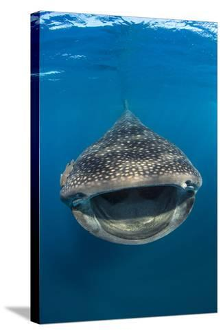 Whaleshark (Rhincodon Typus) Swimming And Filtering Fish Eggs From The Water-Alex Mustard-Stretched Canvas Print