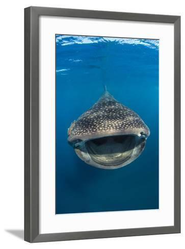 Whaleshark (Rhincodon Typus) Swimming And Filtering Fish Eggs From The Water-Alex Mustard-Framed Art Print