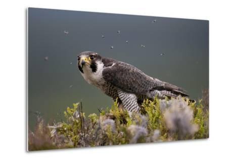 Peregrine Falcon (Falco Peregrinus) Feeding On Wood Pigeon With Flies Buzzing Around-Peter Cairns-Metal Print