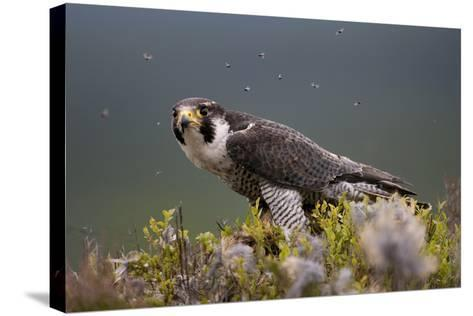 Peregrine Falcon (Falco Peregrinus) Feeding On Wood Pigeon With Flies Buzzing Around-Peter Cairns-Stretched Canvas Print