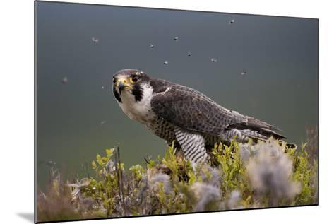 Peregrine Falcon (Falco Peregrinus) Feeding On Wood Pigeon With Flies Buzzing Around-Peter Cairns-Mounted Photographic Print