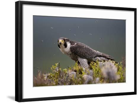 Peregrine Falcon (Falco Peregrinus) Feeding On Wood Pigeon With Flies Buzzing Around-Peter Cairns-Framed Art Print